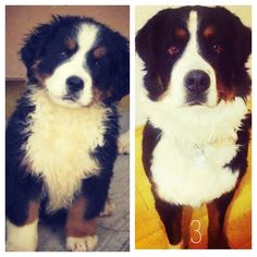 She's Lola, my pup. She acts like every day is my birthday. Bernese mountain dog.