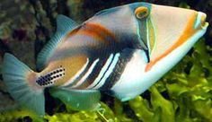 really want a Humuhumunukunukuapua ;) aka Picasso Trigger fish Be very carful what you put in the tank with it, they are extremely aggressive and will eat anything smaller than themselves.