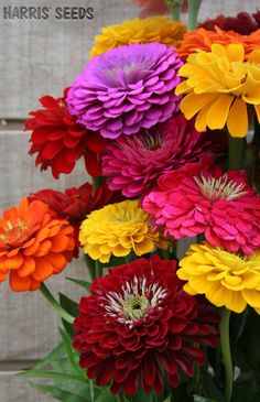 Harris Seeds | Benary's Giant Zinnia Mix- What Beautifully colorful flowers!