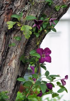 clematis climbing on hawthorn