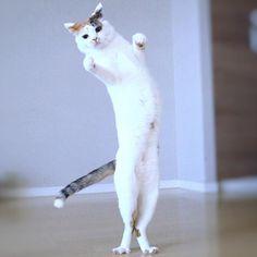 "mayumi0405kasuya: "" ぐっどいぶにゃん  にょん 最近くいだおれ人形みたいに伸びるぽこにゃん 進化系は指揮者ということで 今日もお腹を特別大サービス いつも出てるそんにゃことにゃいにゃい  #猫#ねこ#ふわもふ部#癒し#にゃんだふるらいふ#関東にゃんこ部#cute#love#cat#Japanese #bestmeow#cat#insta_like#catlove#fluffy#insta_good#likeforlike#tagforlikes#instacat#ig_catclub#ilovecat#petofinstagram#cat_of_world#instagrampetphoto#exellent_cat#もちぽよ部 #チーム夜這い #美にゃんこちびっ子部 #三毛猫"""