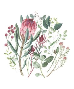 Botanical Drawings, Botanical Illustration, Botanical Prints, Protea Art, Protea Flower, Watercolor Flowers, Watercolor Paintings, Australian Native Flowers, Decoupage