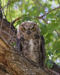 Original bird photography and Great Horned Owl Wall art, this fine art print is available in multiple sizes. Title: Hideaway Photographer: Erica Lea This young Great Horned Owl blended into the bark o