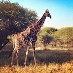 A giraffe spotted by IG user @prudentjaime at the Kapama Private Game Reserve.
