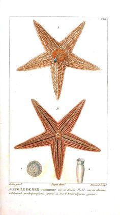 Star fish, 1834
