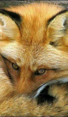 Wild for Wildlife and Nature Red Fox ♥ Fantastic Fox, Fabulous Fox, Amazing, Beautiful Creatures, Animals Beautiful, Fuchs Baby, Animals And Pets, Cute Animals, Wild Animals