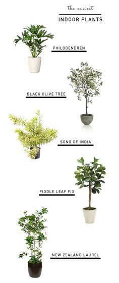 Indoor plants - easy care - philodendron - black olive tree - song of india - fiddle leaf fig - new zealand laurel - Emily Henderson Diy Garden, Garden Plants, Home And Garden, Easy House Plants, Tree Garden, Potted Plants, House Tree Plants, Exotic House Plants, House Trees