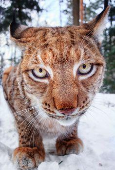 nature-madness: Lynx Portraits | Stefan Betz