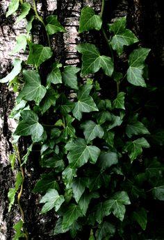 plants for foliage_vines: Hedera helix, ivy, pierre grimpant, efeu *photo 08 june 2015