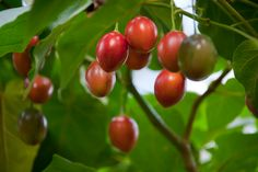 "sandras_home_april_2009_ | Juicy Tamarillo ""tree tomato"""