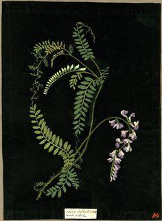 mary delany - collage:  coloured paper + bodycolour + watercolour + black ink - from album vol. ix, 85 - vicia sylvatica - wood vetch (1776)