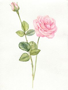 Rose on Behance Botanical Flowers, Flowers Nature, Botanical Prints, Beautiful Flowers, Watercolor Background, Watercolor Flowers, Watercolor Paintings, Indian Flag Images, Hand Painted Dress