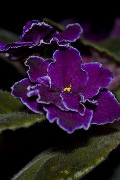 African Violet Saintpaulia ~ 'Black Ace' by Andrew Schram Exotic Flowers, Amazing Flowers, Purple Flowers, Beautiful Flowers, Garden Plants, House Plants, Saintpaulia, Types Of Flowers, Pansies