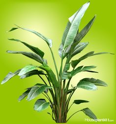How to Grow a Bird of Paradise Plant - Care Guide Birds Of Paradise Plant, Banana Plants, Big Leaves, Unusual Plants, Exotic Flowers, Plant Care, Growing Plants, Indoor Plants