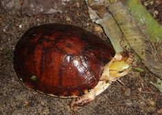 McCord's box turtle, Cuora mccordi