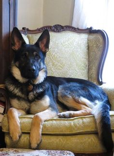 Wicked Training Your German Shepherd Dog Ideas. Mind Blowing Training Your German Shepherd Dog Ideas. Cute Puppies, Cute Dogs, Dogs And Puppies, Doggies, Toy Dogs, Pound Puppies, Chihuahua Dogs, Beautiful Dogs, Animals Beautiful