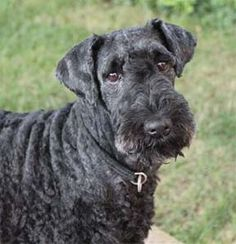 Molly. Kerry Blue Terrier adopted 2011 after neglect in a puppy mill. http://www.kerryblues.info/