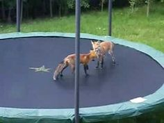 ▶ Foxes Jumping on my Trampoline - YouTube