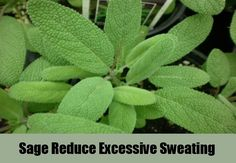 7 Herbal Remedies For Excessive Sweating | http://www.searchhomeremedy.com/herbal-remedies-for-excessive-sweating/