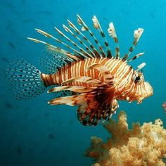 Lionfish or turkeyfish are a venomous species known their long, ...