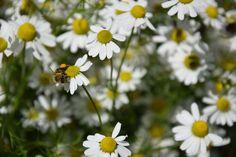Léčivé bylinky najdou místo na každé zahradě, ať se jimi zabýváte nebo je jen občas použijete na výrobu léčivého čaje nebo jimi okořeníte jídlo. Pojďme se společně podívat na 20 oblíbených a užitečných bylinek, jejichž využití je široké a ani jejich pěstování vás nebude stát příliš mnoho času. Zůstaneme u osvědčené klasiky, ale přiblížíme vám i několik třeba i méně známých druhů. Plants, Planters, Plant, Planting
