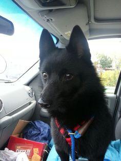 Petfinder  Adoptable   Schipperke   Dog   Armada, MI   Sheldon
