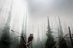 Beautiful owl in the mist