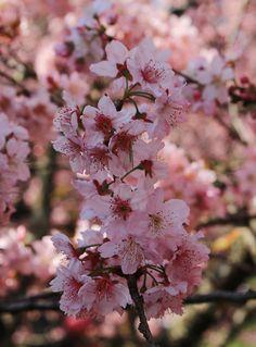 Bosque das Cerejeiras                                                                                                                                                      Mais Tumblr Wallpaper, Wallpaper S, Ikebana, Cherry Blossom Japan, Flowers For You, Flowering Trees, Margiela, Flower Wallpaper, Beautiful Images