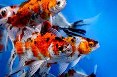 Shubunkin Domestic in Shubunkin Goldfish have a sleek, streamlined body similar to the body of Comet Goldfish. However, the red patterns of Comet G. Koi Ponds, Koi Fish Pond, Shubunkin Goldfish, Fish Hatchery, Water Gardens, Garden Pond, Carp, Aquariums, Aquarium Fish