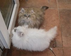 chinchilla persian cats | Chinchilla Persian Kittens