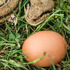 Snakes eat eggs, chicks, and occasionally adult hens. Even a chicken snake bite can be fatal. We'll take you through how to keep snakes away from the chicken coop. Minnow Trap, Keep Snakes Away, How To Trim Bushes, Guinea Fowl, Hiding Spots, Nesting Boxes, Chicken Eggs, Chickens Backyard, Coops