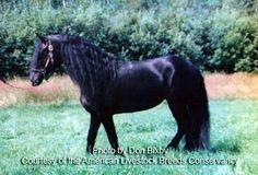 American Livestock Breeds Conservancy: Friesian Horse