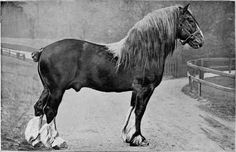 clydesdale horses | PLATE XXV. CLYDESDALE STALLION: LORD STEWART By Castlereagh 10324; dam ...