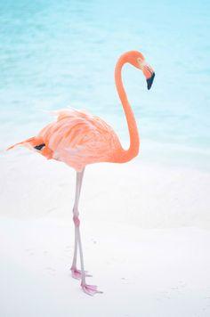 Flamingo beach in Aruba! Flamingo Beach, Flamingo Art, Pink Flamingos, Black Phone Wallpaper, Disney Wallpaper, Animals And Pets, Baby Animals, Cute Animals, Most Beautiful Birds