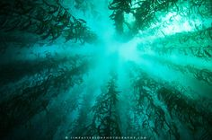 Often times the best view while SCUBA diving in the Monterey Bay is to simply look up through the kelp forest towards the surface of the ocean.