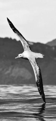 Wandering Albatross. ⚓ByDiver969⚓
