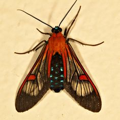 Moth - Cosmosoma teuthras, from Costa Rica