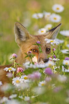 drxgonfly:  Fox in the Flowers (by Jeff Dyck )