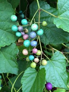 Ampelopsis brevipedunculata, porcelain berry