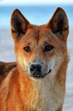 Dingo(Canis lupus dingo) photographed by Alexandre Roux in Australia on June 2014 A wild Australian dog Merle Australian Shepherd, Wombat, Reptiles, Mammals, Dingo Dog, Animals Beautiful, Cute Animals, Collage Kunst, Canis Lupus
