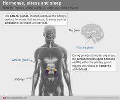 a194c3b1 Chemical messengers: how hormones help us sleep Adrenal Support, Sleep  Dream, What Happened