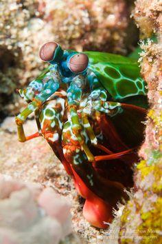 Peacock Mantis Shrimp (Odontodactylus scyllarus) ~ © Matthew Meier matt@matthewmeierphoto.com