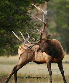 Bull Elk                                                                                                                                                                                 More