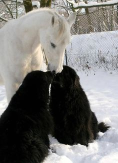 Horse and dog love! Two big fluffy black dogs loving on white horse in the snow!