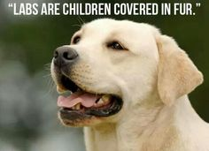 Labs are children covered in fur More