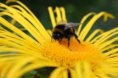Bumble bee on Inula @ Cae Hir Gardens