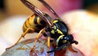 Home Remedies for a Natural & Organic Wasp and Hornet Killer or Repellent