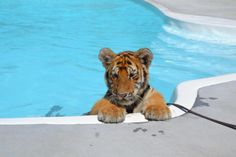 Tiger Pool Party