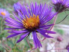 Dalya, Çiçek, Bloom, Doğal, Flora, Taçyaprağı, Botanik