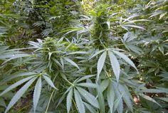 「大麻は麻薬ではない」月刊ペントハウス/丸井英弘弁護士緊急インタビューより   zackyChannel